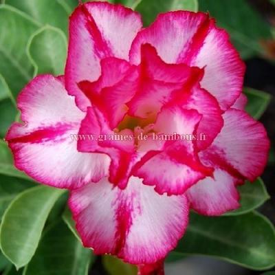Adenium obesum mix 3 sortes de fleurs réf.745