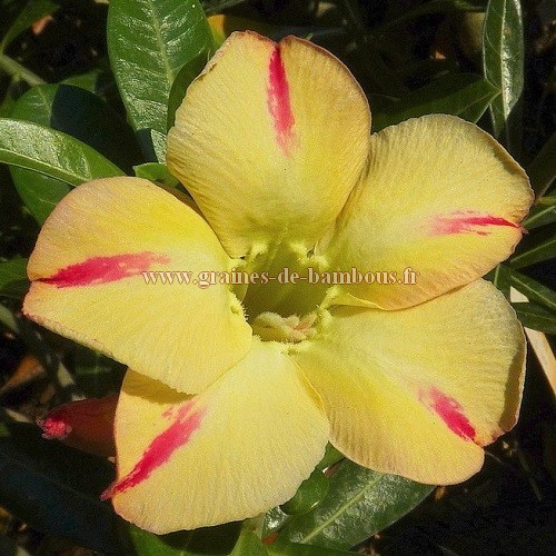 Adenium star of yellow dream
