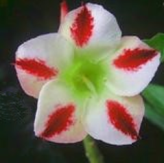 Adenium white phoenix graines de bambous fr