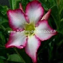 Adénium obesum Rose du Désert réf.400a