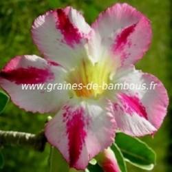 Adenium arabicum graines seeds samen 1