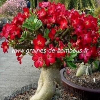 Adénium arabicum Rose du Désert réf.659a