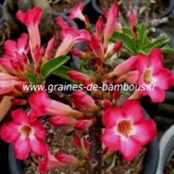 Adenium arabicum www graines de bambous fr 2