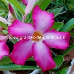 Adenium arabicum www graines de bambous fr 3