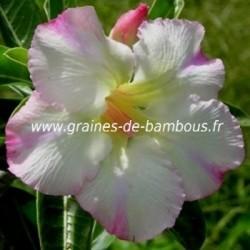 Adenium arabicum www graines de bambous fr 4
