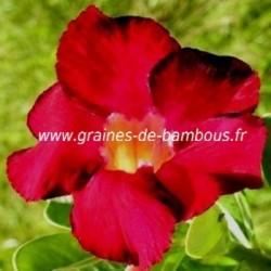 Adenium arabicum www graines de bambous fr 5