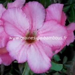 Adenium obesum rose du desert 10 graines www graines de bambous fr 1