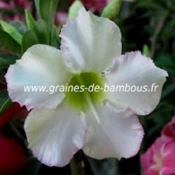 Adenium obesum rose du desert 10 graines www graines de bambous fr 2