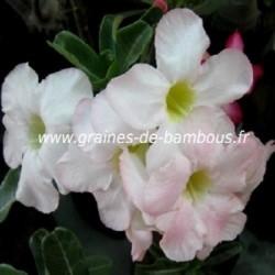 Adenium obesum rose du desert 10 graines www graines de bambous fr 4