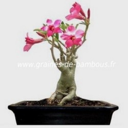 Adenium obesum rose du desert bonsai graines de bambous fr 5