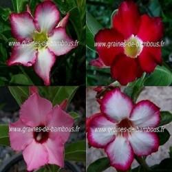 Adenium obesum rose du desert www graines de bambous fr www grainesdebambous com