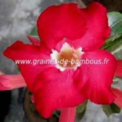 Adenium obesum rose du desert www graines de bambous fr 3