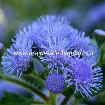 Ageratum bleu