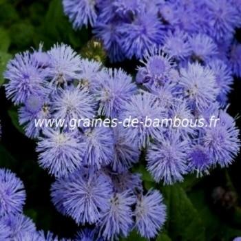 Ageratum blue
