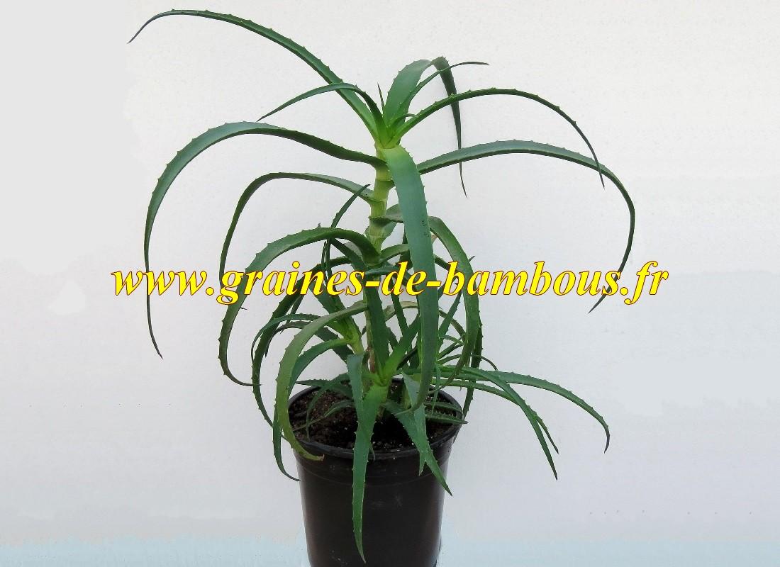 Aloe arborescens graines plante semis