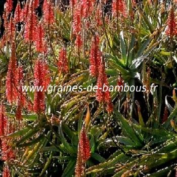 Aloe arborescens ou candelabre réf.408