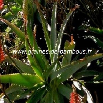 aloe-arborescens-www-graines-de-bambous-fr-3.jpg
