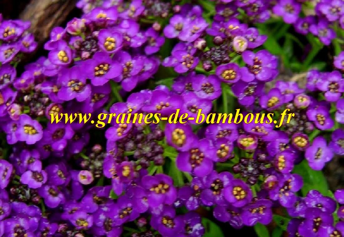 Alysse fleur violet graines