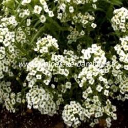 Alysse blanc graines de bambous fr