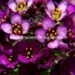 Alysse graines fleur