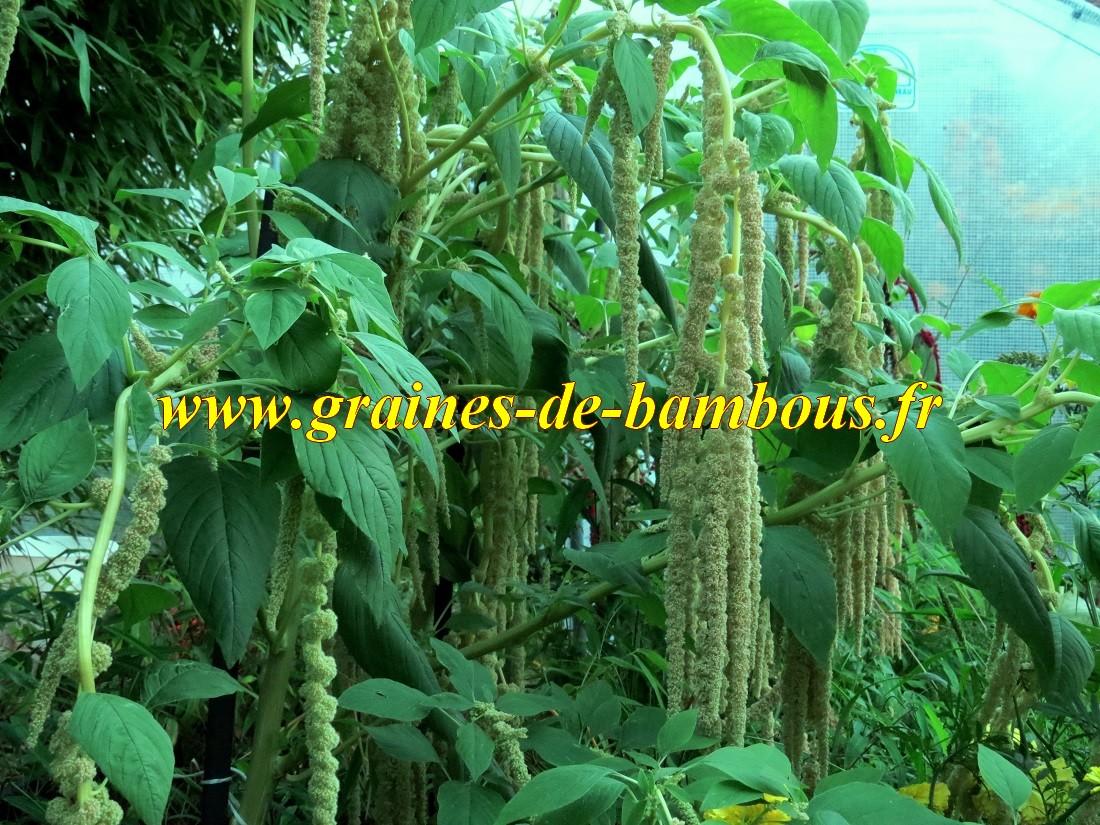 Amarante verte graines semences