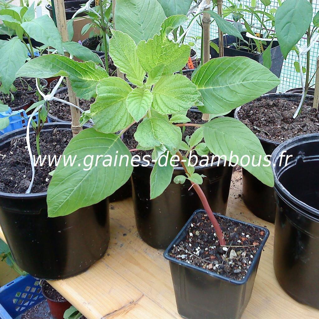 amaranthe-queue-de-renard-plant-www-graines-de-bambous-fr.jpg
