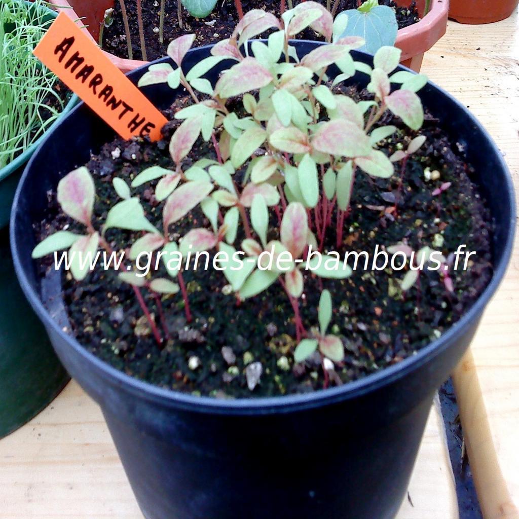 amaranthe-queue-de-renard-semis-www-graines-de-bambous-fr.jpg