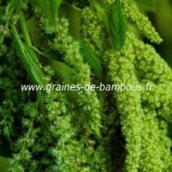 Amaranthe verte graines de bambous fr