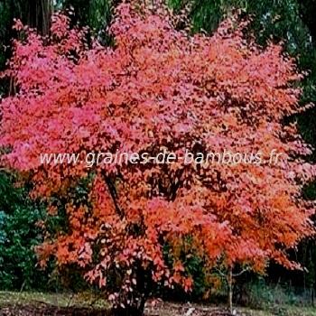 amelanchier-canadensis-arbre-www-graines-de-bambous-fr.jpg