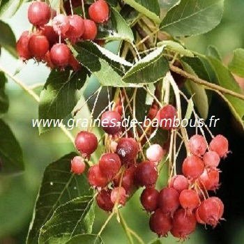 amelanchier-canadensis-fruit-www-graines-de-bambous-fr-1.jpg