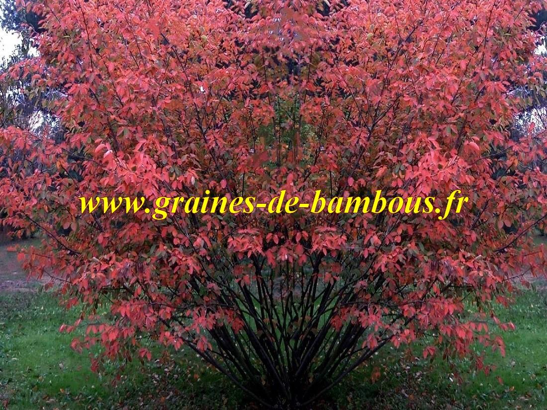 Amelanchier du canada canadensis lamarckii graines