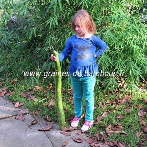 Amelie gourde serpent cucuzzi