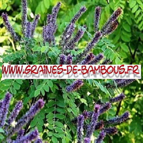 amorpha-fruticosa-1000-graines-www-graines-de-bambous-fr.jpg