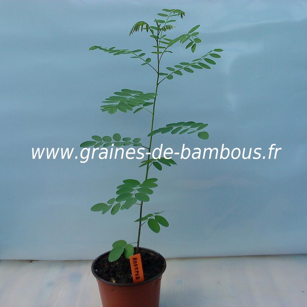 amorpha-fruticosa-plant-www-graines-de-bambous-fr.jpg