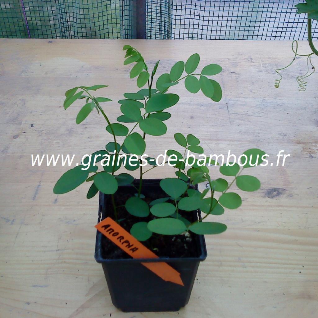 amorpha-fruticosa-semis-www-graines-de-bambous-fr.jpg