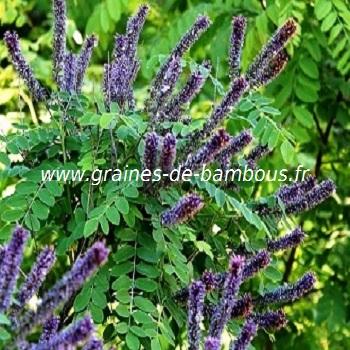 amorpha-fruticosa-www-graines-de-bambous-fr-1.jpg