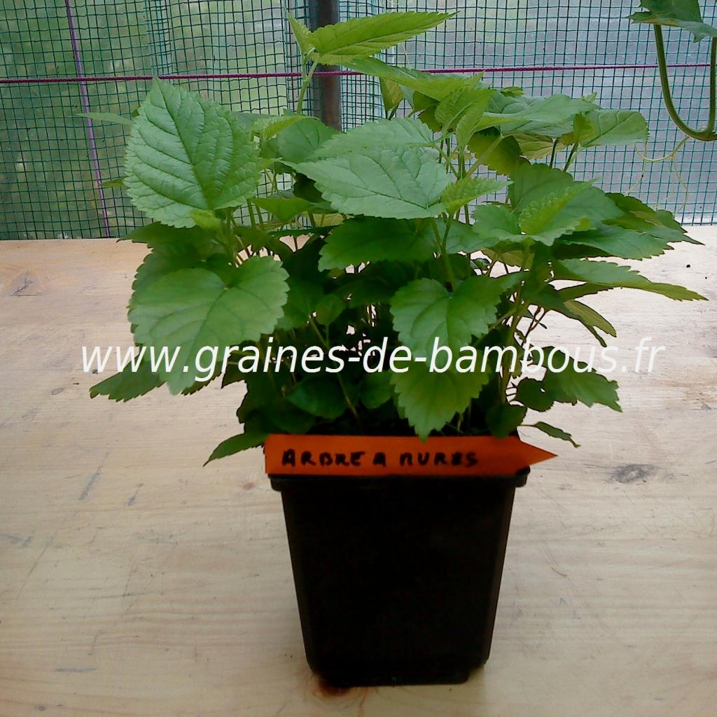 arbre-a-mures-morus-nigra-petits-plants-www-graines-de-bambous-fr.jpg