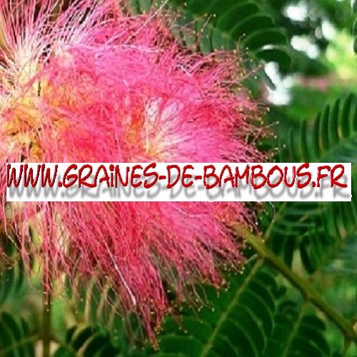 arbre-a-soie-albizia-julibrissin-1000-graines-www-graines-de-bambous-fr-1.jpg