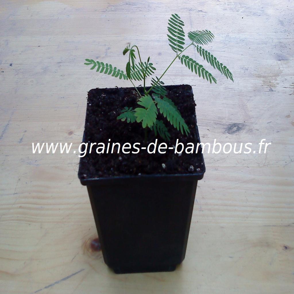 arbre-a-soie-albizia-julibrissin-petit-plant-2-www-graines-de-bambous-fr.jpg
