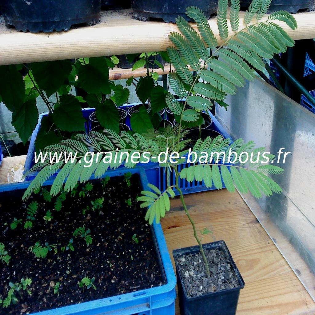 arbre-a-soie-albizia-julibrissin-petit-plant-www-graines-de-bambous-fr.jpg