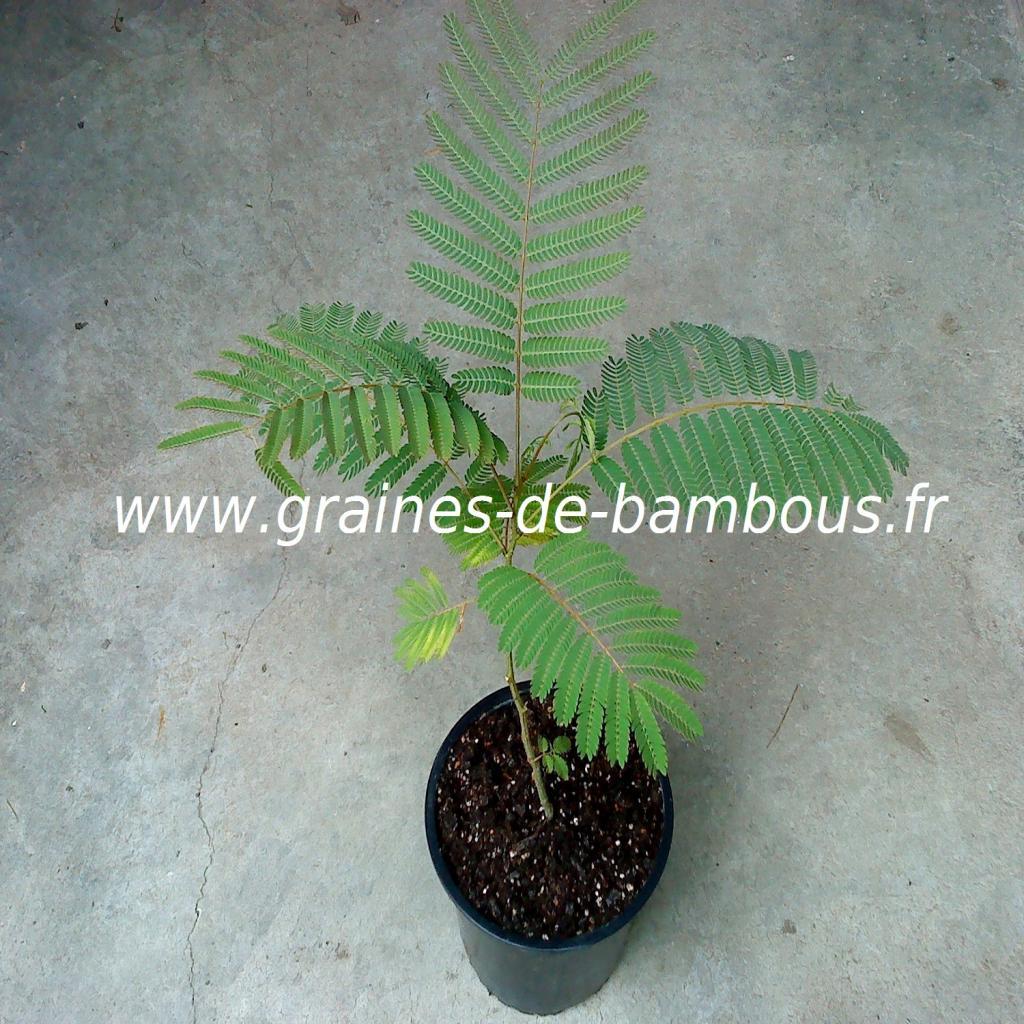 arbre-a-soie-albizia-julibrissin-plant-www-graines-de-bambous-fr.jpg