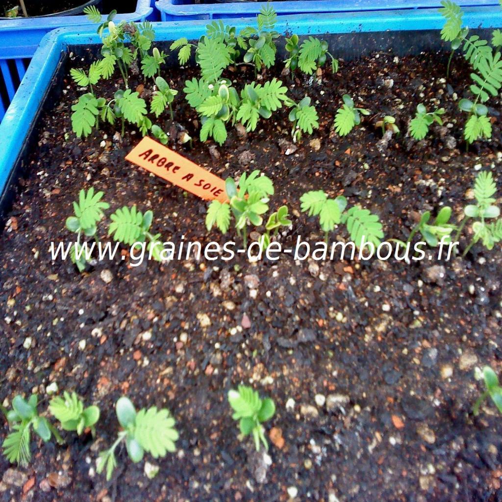 arbre-a-soie-albizia-julibrissin-semis-www-graines-de-bambous-fr.jpg