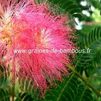 Graines d 39 arbre a soie albizzia julibrissin - Arbre ver a soie ...
