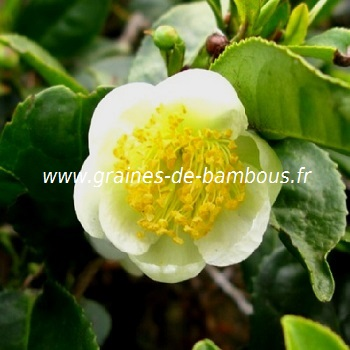 Arbre a the camellia sinensis theier graines