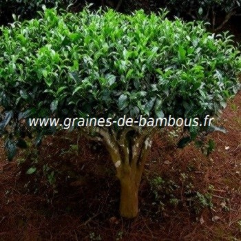 Arbre a the graines de bambous fr