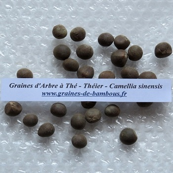 Arbre a the theier camellia sinensis graines de bambous fr