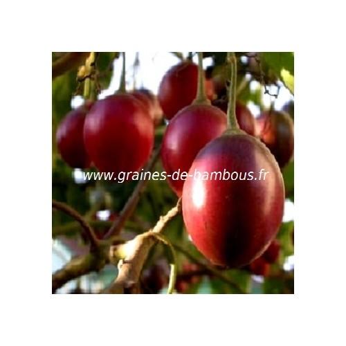 Arbre arbol a tomate www graines de bambous fr