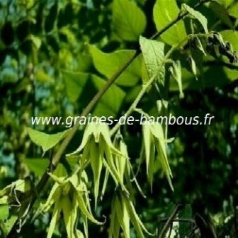 Arbre aux haricots bleus decaisnea en fleurs graines de bambous fr