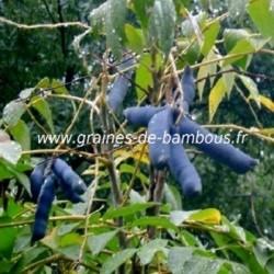 Arbre aux haricots bleus decaisnea fargesii graines de bambous fr