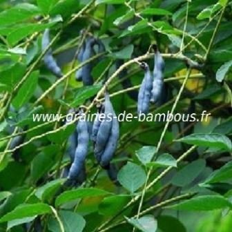 Arbre aux haricots bleus réf.657